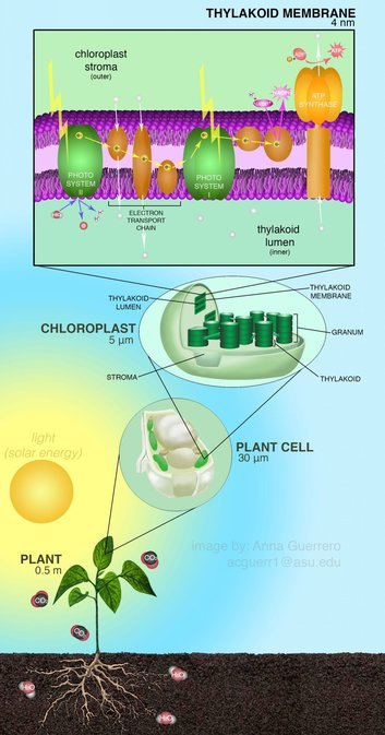 Photosynthesis converts solar energy into chemical energy
