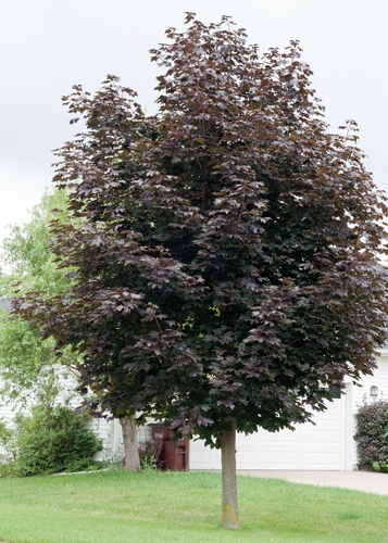 Royal Red Maple Full Tree