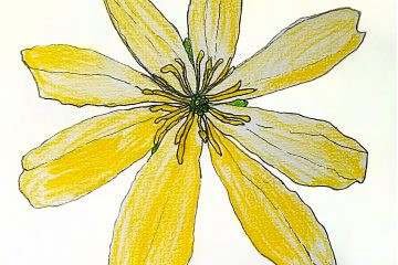 Drawing of Lesser Celandine flower