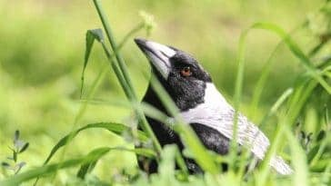 How to Get Rid of Magpies