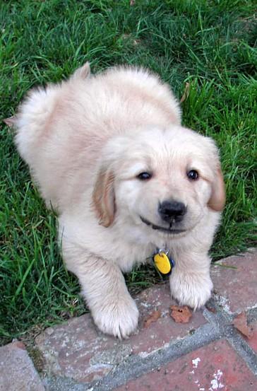 Golden Retriever Puppy - Apache