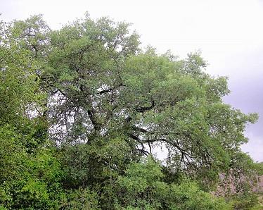 Englemann Oak Tree