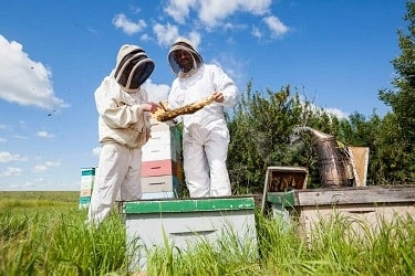 Beekeepers Lending a Hand to Clean out a Dead Beehive