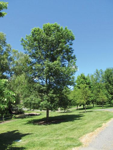 Patmore Ash Full Tree