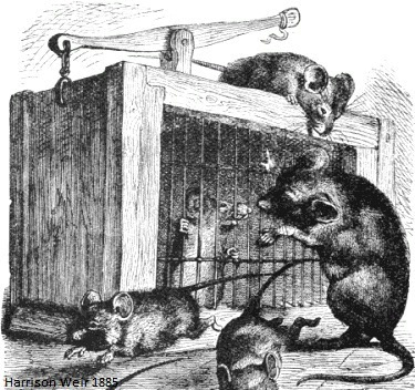mouse caught in an 1885 live mousetrap