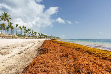Sargassum Seaweed Clean-up Costs Caribbean US$120 Million