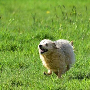 White dog running fast in green field