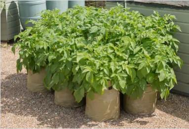 Potatoes in Bags