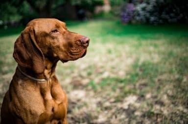 Vizsla hongaars hondenras