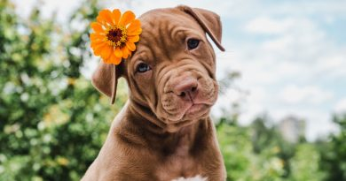 pug with flower behind ear| 6 tips to get your dog ready for summer