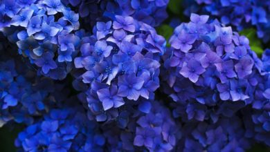 Photo of Yard and Garden Perennial Flowers: Essential Guide to Hydrangeas
