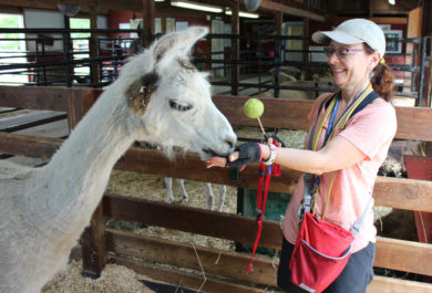 volunteer rewards llama during a training sessions