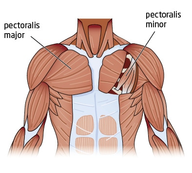Chest Anatomy