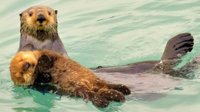 Image: Sea otters swimming