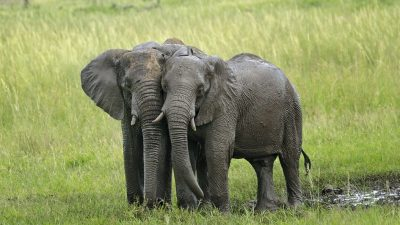 Image: two small elephants leaning against each other in a calm grassy landscape