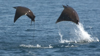 Image: Manta flying out of the water