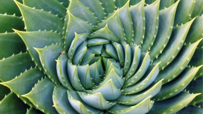 Image: The natural fractals of an aloe plant