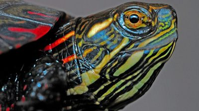 Image: A macro shot of a painted turtle
