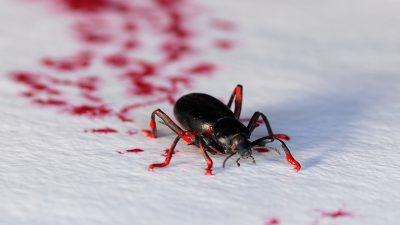 Image: Darkling Beetle with paint on its legs making tracks