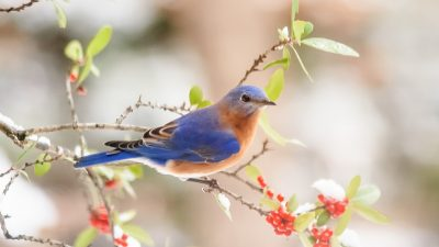 Image: bluebird sitting on a tree limb