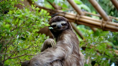 Image: Sloth sitting up in a tree looking at the camera