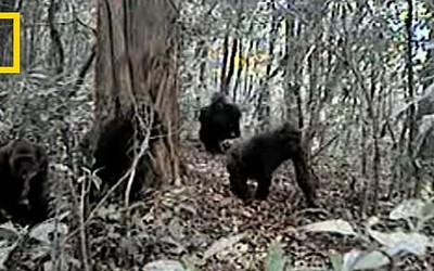 Rare Video of Cross River Gorillas in Cameroon