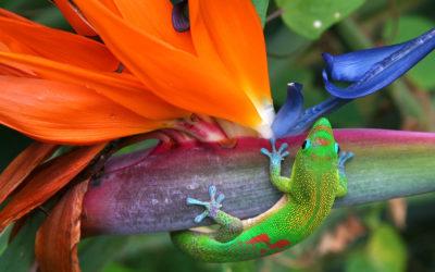 Maui Fauna of the Month: Gecko