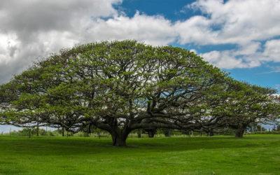 Maui Plant of the Month: Monkeypod