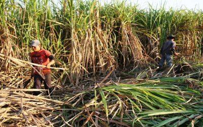 2020 será el peor año de producción azucarera en más de medio siglo