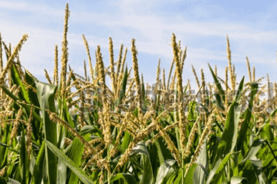 Corn tassels with corn pollen