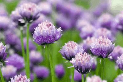 Garlic flowering