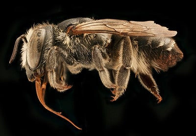 Leafcutter bees are prominent in North America