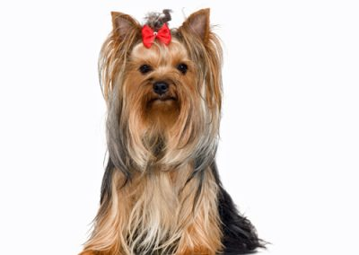 Yorkie Yorkshire Terrier sitting up perky