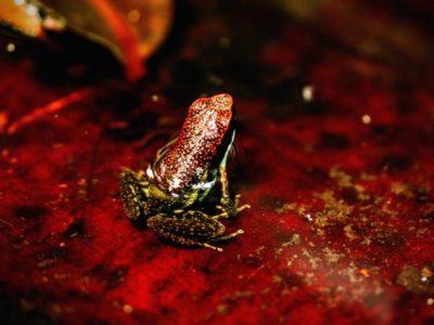 Frogs of the Amazon Rainforest in Ecuador