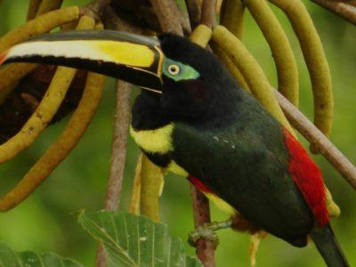 Toucans of the Rainforest in Ecuador