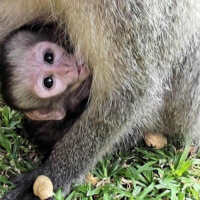 Vervet Monkeys