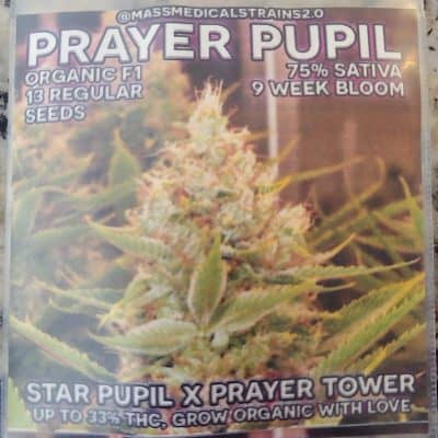 MASS_MEDICAL_STRAINS_PRAYER_PUPIL_REG_LUSCIOUS_GENETICS