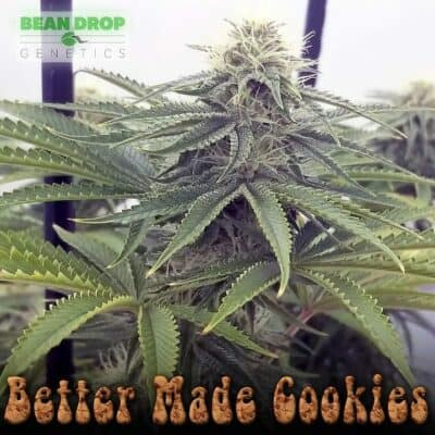 BEAN_DROP_GENETICS_BETTER_MADE_COOKIES_FLOWER_1_LUSCIOUS_GENETICS