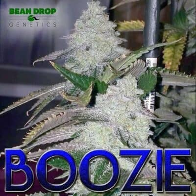 BEAN_DROP_GENETICS_BOOZIE_FLOWER_1_LUSCIOUS_GENETICS