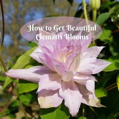 How to get beautiful clematis blooms