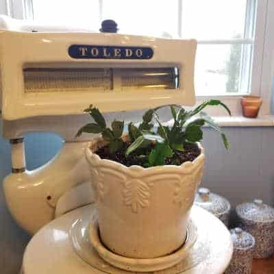 White ceramic pot with pieces of Christmas Cactus sitting on a scale in front of a window