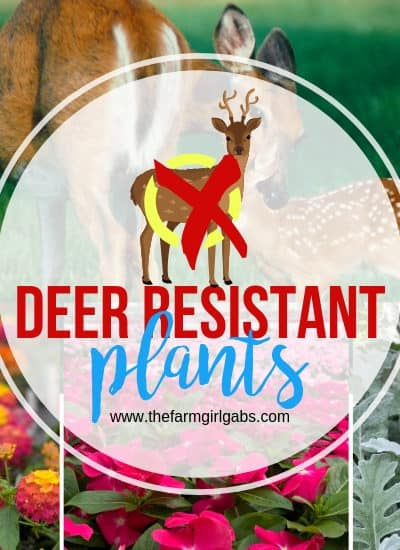 Do you have trouble with the deer population in your area? They love to eat the beautiful flowers and plants in our garden. Here are some deer resistant plants that you can plant in your garden and the deer should not eat. Enjoy these helpful gardening tips. #GardeningTips #DeerResistantPlants #GardeningIdeas #Flowers #Planting