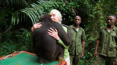 Image: Wounda the Chimpanzee hugging Jane Goodall