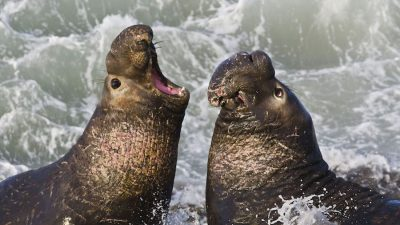 Image: two elephant seals fighting to be mother nature's beach master