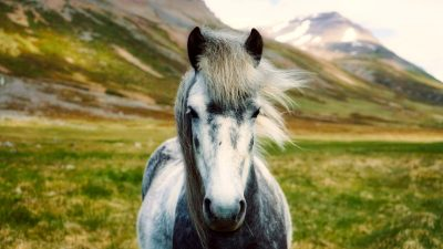 Image: Icelandic horse in front of a barren landscape