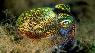 Image: Euprymna tasmanica—bobtail squid found off the coast of Australia