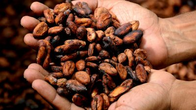Image: hands holding cacao beans