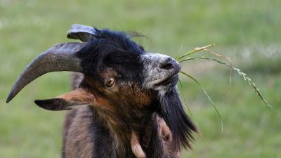 Image: Goat with head cocked to the side looking at the camera with a bunch of grass in their mouth