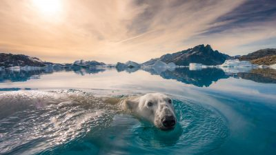 Image: Photographer Andy Mann of Sea Legacy photo of a polar bear swimming right at the camera