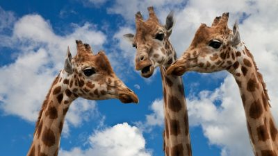 Image: Three giraffes gathered together looking like they are talking to each other